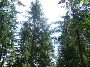 Norway Spruce Forest – Maine